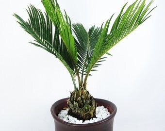 Live Sago Palm Bonsai Tree - Free Shipping - Nice Gift