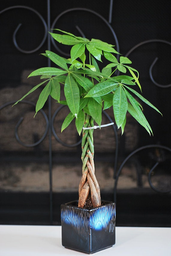 Live braided money tree bonsai free shipping nice gift