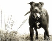 Dog photography- pitbull-shelter dogs-pitbull rescue-dog rescue-pet photography- dog lovers-doggie decor