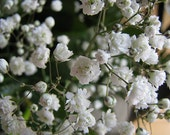 BULK 500 Seeds, Baby's Breath, Easy to Grow, Great as a Dried Arrangement, Matures in 6 Weeks