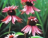 Rare and Beautiful Double Decker Coneflower, Seeds, Must See, 10 Seeds