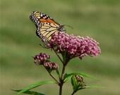 Milkweed, Attract Butterflies to Your Garden, Pink, Perennial, 20 Seeds