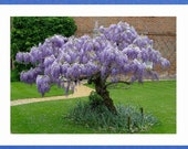Chinese Wisteria Vine, Very Fragrant, Grow as a Bonsai, 5 Seeds