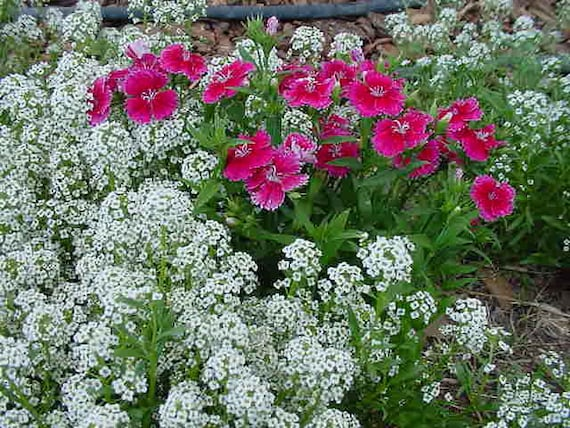 how to grow sweet william from seed