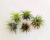 Air Plants. Tillandsias. Set of 5