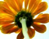Zinnia Flower Photography