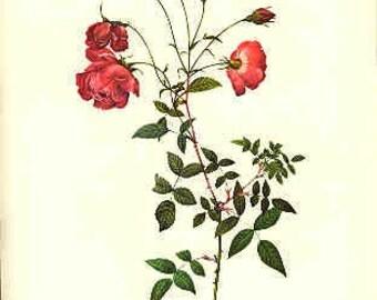 Redoute Botanical Rose Print  55