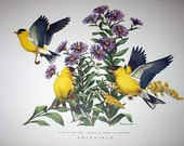 Goldfinch Birds of Our Land In Cluster of Purple Aster Flowers Artist Roger Tory Peterson Original Vintage 1958 Lithograph Print Home Decor