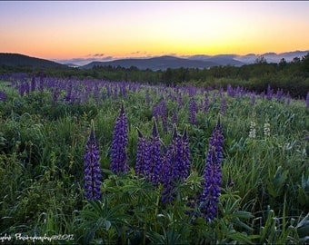 Lupines and the White Mountains Spring Landscape 12x18 Fine Art Print