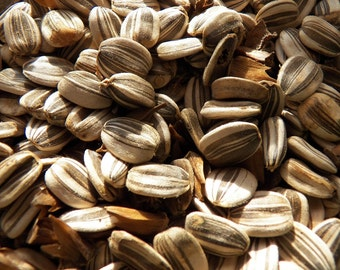 SPECIAL PRICE with any order! 20 Mammoth Sunflower Seeds