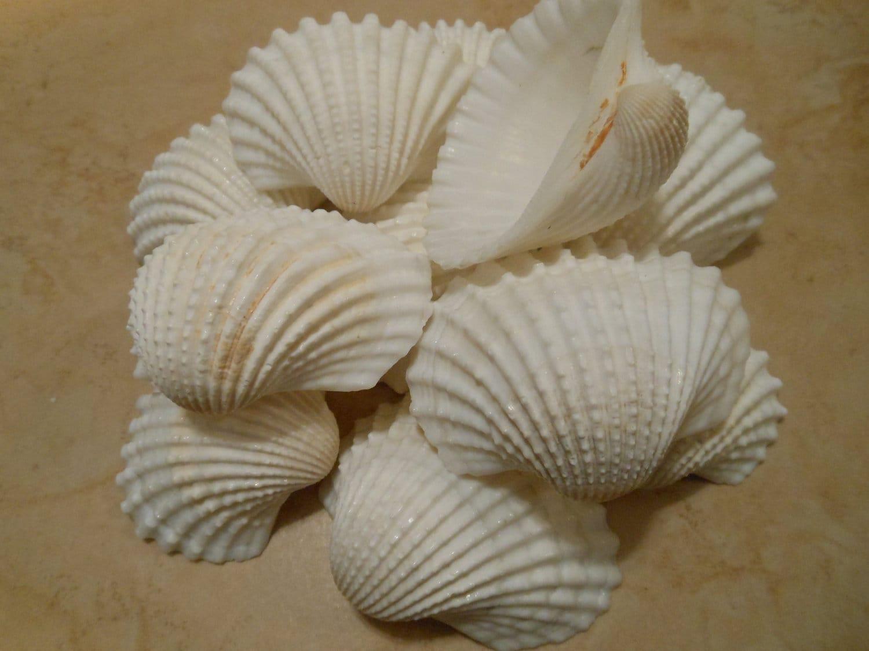 White ark seashells 15 seashell supply craft seashells for Sea shell crafts