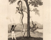 Original 19th Century Print- The Aboma, or Great Boa, of South America (1823)