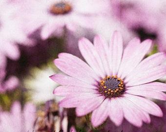 Purple Daisy - Art Photography & Home Decor, Wall Art,  Nature, flowers, purple