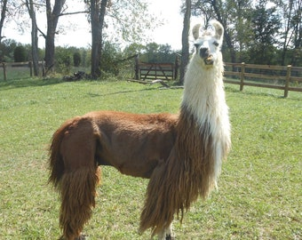 Brown Llama Fiber Raw