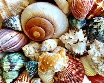 One Kilo (2.2 lbs.) Large Ocean Mix Seashells - (appx. 80-100 pcs.)