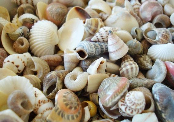 One kilo 2 2 lbs bulk ocean tiny mix shells for crafts for Tiny shells for crafts