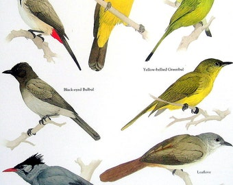 Bird Print -  Red Whiskered Bulbul, Crested Finchbill, Leaflove, Black Bulbul - Vintage 1984 Book Page