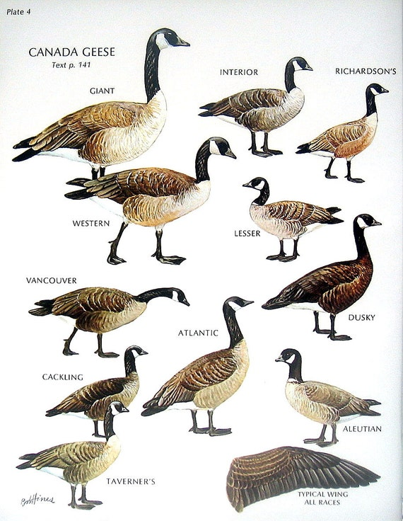 how to tell male from female canada geese