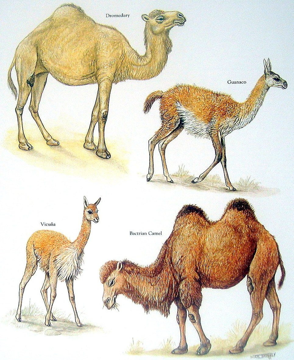 Camels Dromedary Guanaco Bactrian Camel Vicuna Vintage