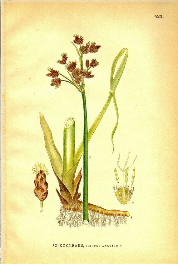 Natural History Print Antique Botanical Scirpus Lacustris (Common Tule) from 1906 Nordens Flora