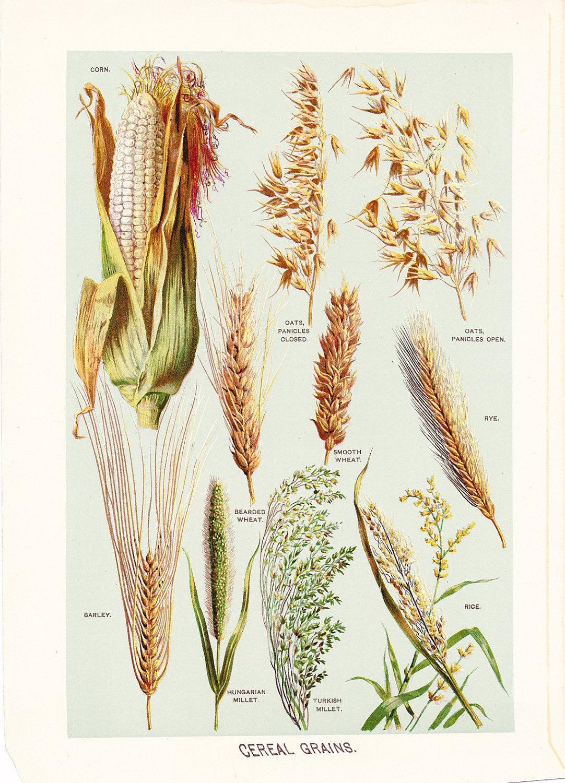 Wheat Botanical Drawing Children illustrationWheat Botanical Illustration