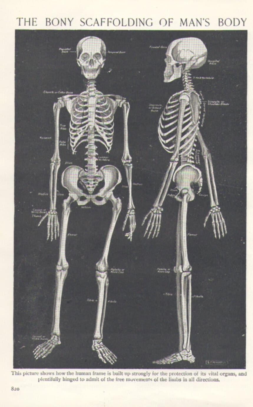 1920 skeleton illustration human anatomy by thestoryofvintage. Black Bedroom Furniture Sets. Home Design Ideas