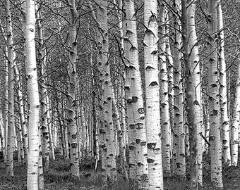 White Birch Tree Forest Grove No.0651 A Black and White Fine Art Landscape Photograph