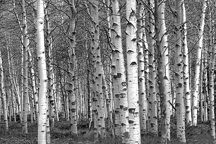 White Birch Tree Forest Grove No.0651 A Black and White Fine