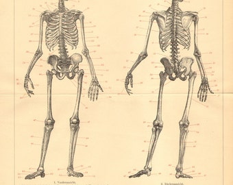 1894 Original Antique Engraving of the Human Skeleton, Anterior and Back View