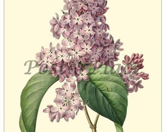 ART CARD - Lilac Antique Botanical P. Redoute 1027