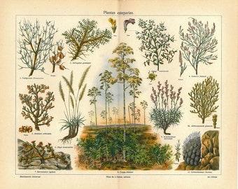 1920s Vintage Botanical Print Steppe Plants Color Lithograph Shrubs Illustration