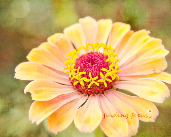 Peach Zinnia Flower Photography, Hot Pink Yellow, Bloom Green Bokeh, Romantic Print Shabby Cottage Living Room Decor, Spring, Autumn Flowers
