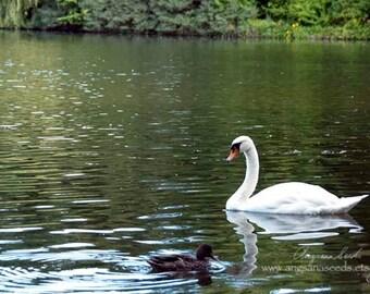 "White Swan photo, bird, Graceful, 8""x12"", nature photo, animal photo, avian art, lake, duck, cygnet, nursery decor, Zen, holiday, Christmas"