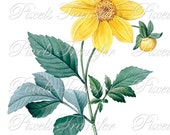 Botanical image Instant Download YELLOW DAHLIA Digital Download flowers Redoute 096