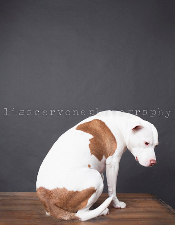 Detroit, pit bull, fine art dog photography, home decor fine art photography,gray, white, brown minimalistic, dog photography