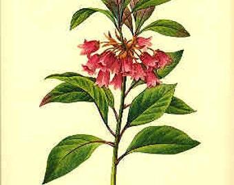 Redoute Botanical Print - Enkianthus - 36