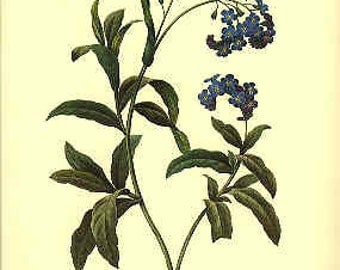 Redoute Botanical Print -  - Forget Me Not - 81