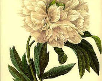 Redoute Vintage Botanical Print - Peony -102 - White Peony - Vintage Peony Print - Vintage Flower Print