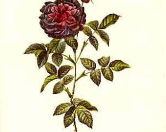 Redoute Botanical Rose Print  36