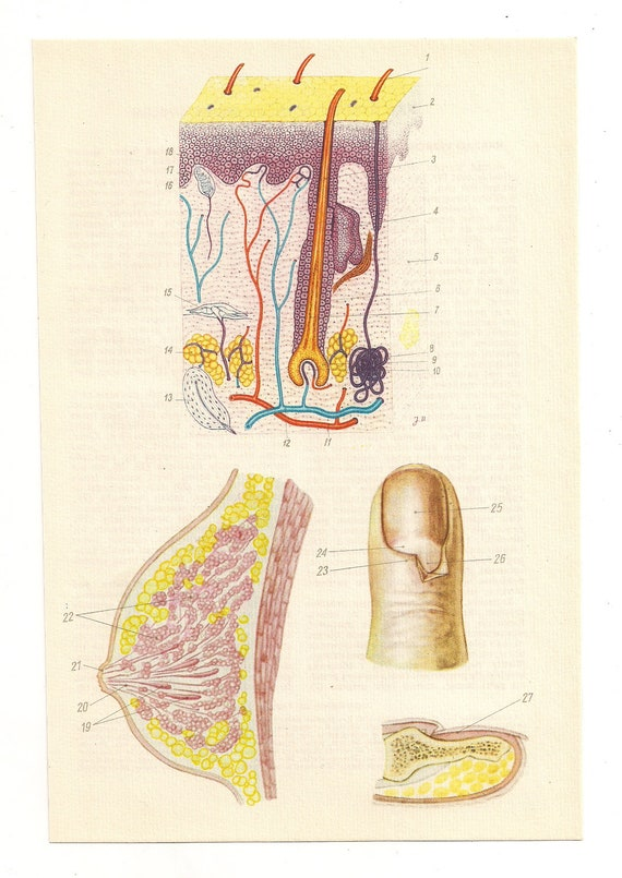 Medical Diagrams 2 Vintage Anatomical Prints Tits Finger Skin