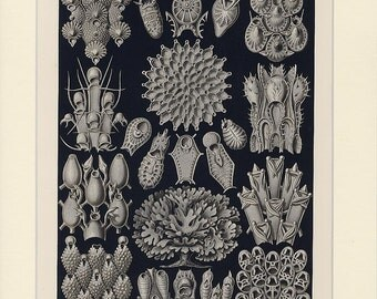 Haeckel Moss Lithograph Print - Antique 1st Edition Botanical Print from Artforms in Nature - Kunstformen der Nature - Bryozoa - Moostiere