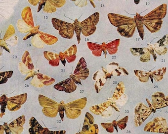 Calymnia Schinaria Zoheca Moths Vintage Lithograph Chart 1907 Entomology Antique Edwardian Natural History Rotogravure  XXVIII