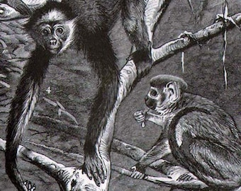 Spider  Monkey Troop 1887 Victorian Antique Natural History  Zoo Animal Illustration To Frame