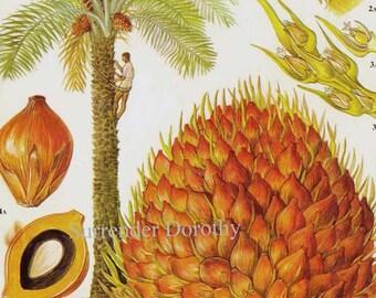 Spadix Oil Palm Tropical Fruit Flower Chart Food Botanical Lithograph Illustration For Your Vintage Kitchen 21