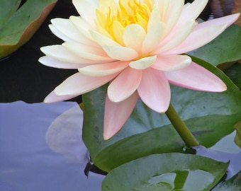 Monet's Water Lily-Matted and Ready to Frame-Original Photography of Flower