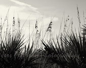 Beach Photography Sea Oats Photos, Nautical Florida Seascape Print Ocean Wall Art Black & White Home Decor Ocean Print 5x7, 8x10, matted