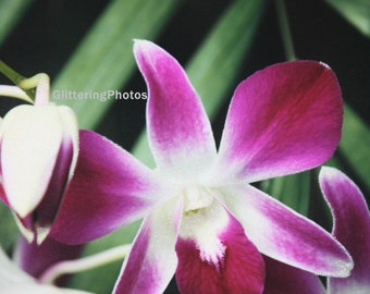 Blooming, Deep Pink, Orchid, Phipps Conservatory, Fine Art, Photography, Print, Glossy, OOAK