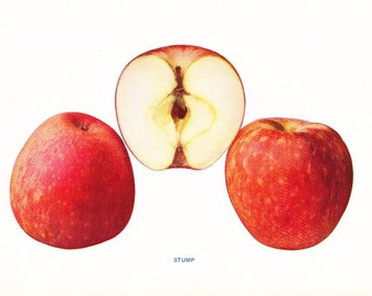 1905 Fruit Print - Stump Apple - Vintage Home Kitchen Food Decor Plate Plant Art Illustration Great for Framing 100 Years Old