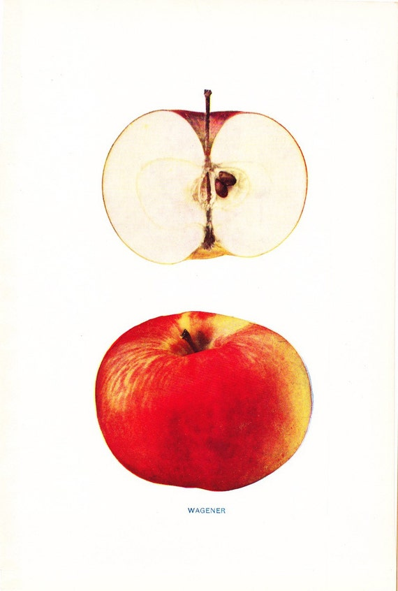 1905 Fruit Print - Wagener Apple - Vintage Home Kitchen Food Decor Plate Plant Art Illustration Great for Framing 100 Years Old