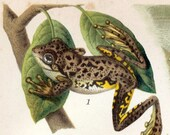 1894 Antique Brilliantly Coloured German Chromolithograph of Frogs
